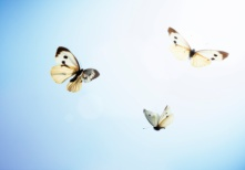 Large white butterflies (Pieris brassicae) in flight, low angle view